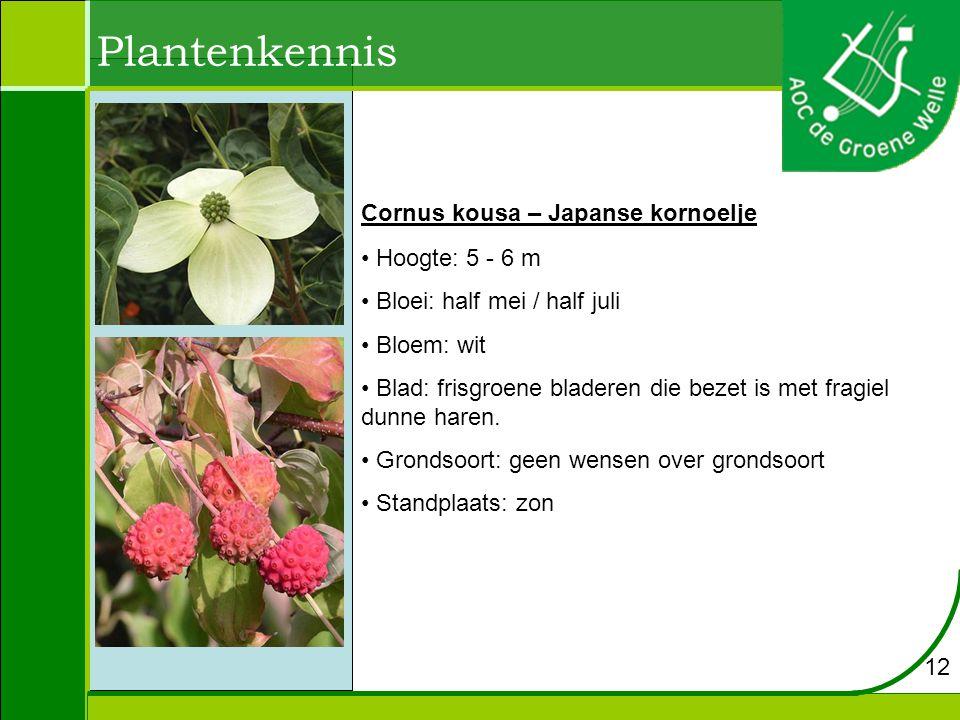 Plantenkennis Cornus kousa – Japanse kornoelje Hoogte: 5 - 6 m