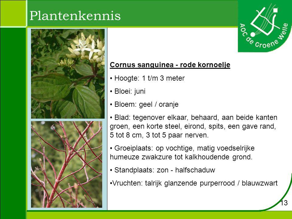 Plantenkennis Cornus sanguinea - rode kornoelje Hoogte: 1 t/m 3 meter
