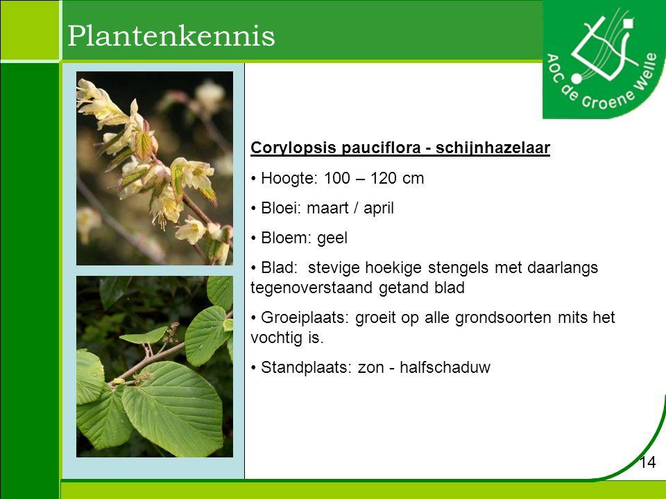Plantenkennis Corylopsis pauciflora - schijnhazelaar