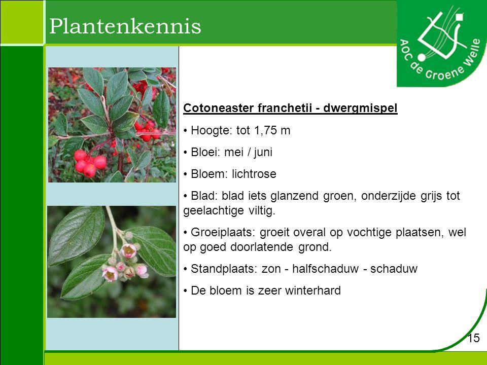Plantenkennis Cotoneaster franchetii - dwergmispel Hoogte: tot 1,75 m