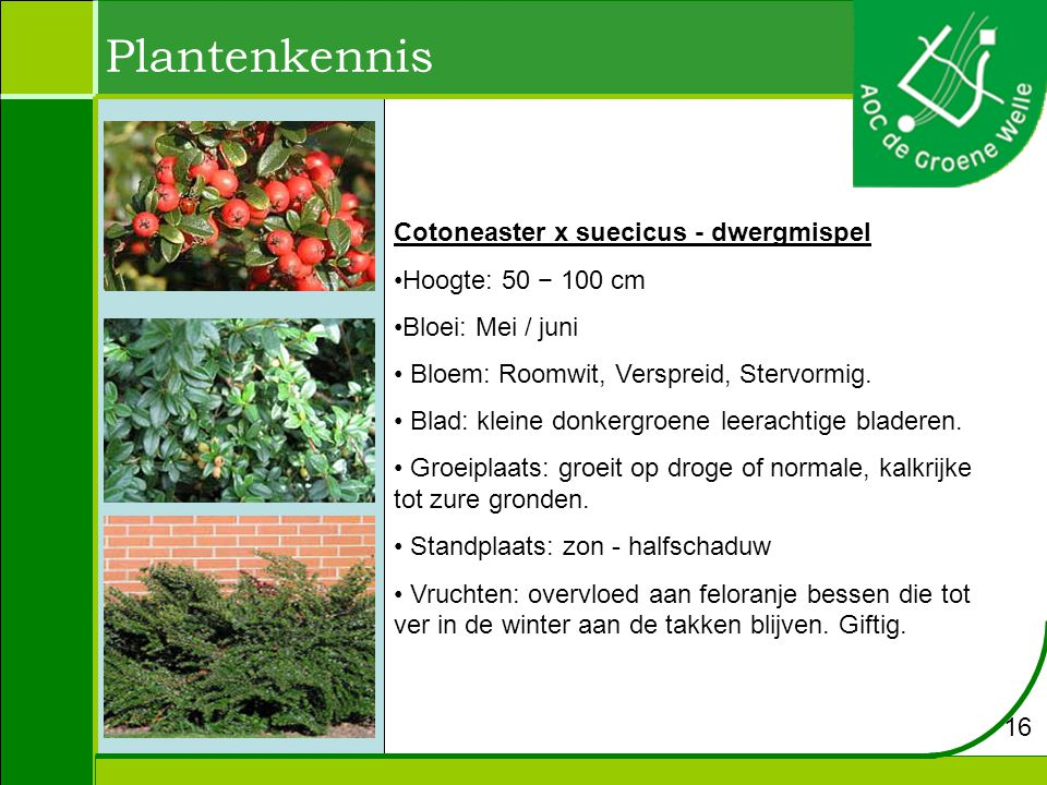 Plantenkennis Cotoneaster x suecicus - dwergmispel Hoogte: 50 − 100 cm