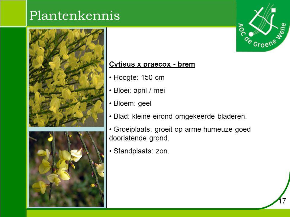 Plantenkennis Cytisus x praecox - brem Hoogte: 150 cm