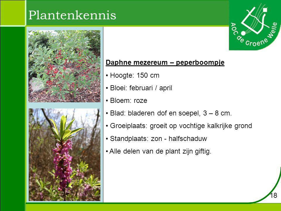 Plantenkennis Daphne mezereum – peperboompje Hoogte: 150 cm