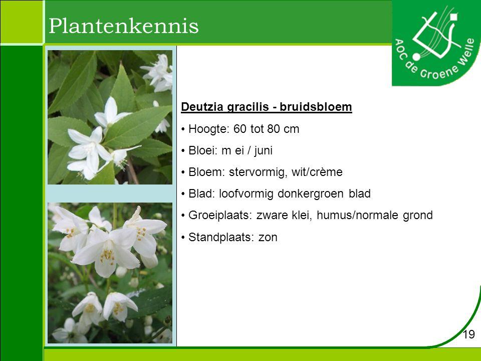 Plantenkennis Deutzia gracilis - bruidsbloem Hoogte: 60 tot 80 cm