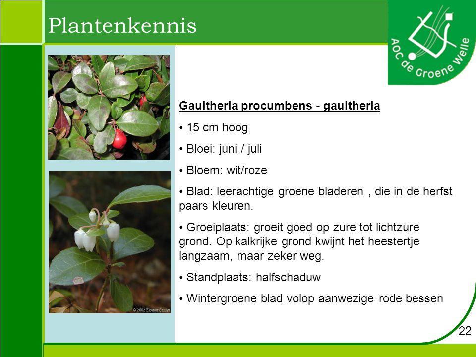 Plantenkennis Gaultheria procumbens - gaultheria 15 cm hoog
