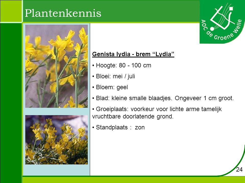 Plantenkennis Genista lydia - brem Lydia Hoogte: 80 - 100 cm