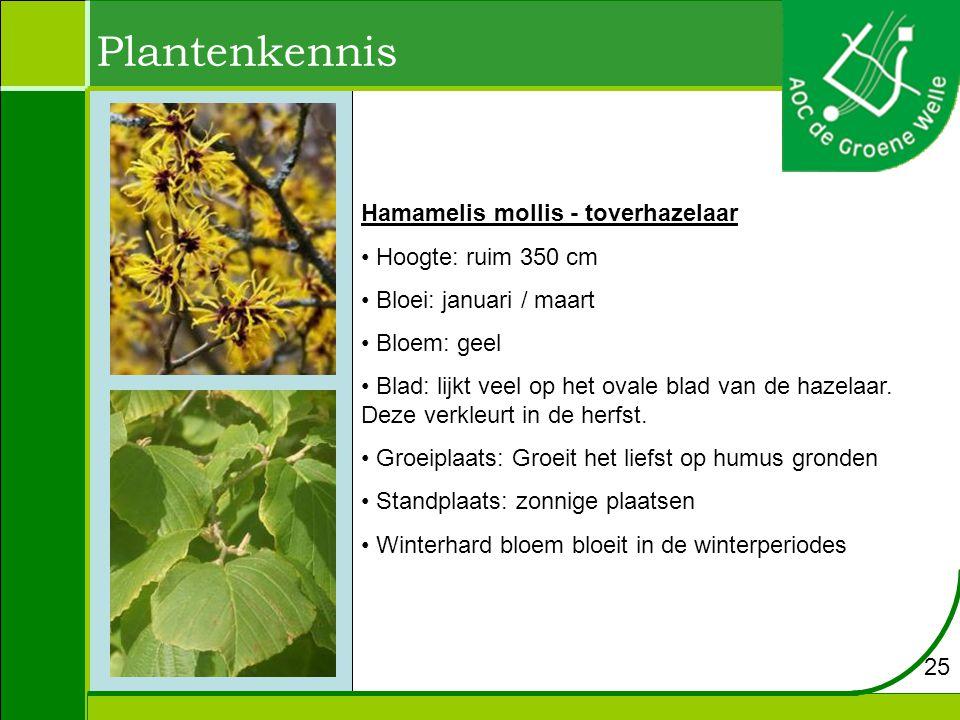 Plantenkennis Hamamelis mollis - toverhazelaar Hoogte: ruim 350 cm