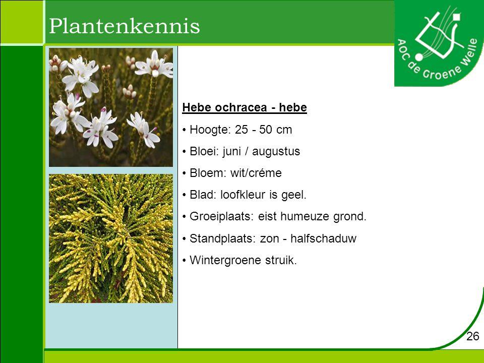 Plantenkennis Hebe ochracea - hebe Hoogte: 25 - 50 cm
