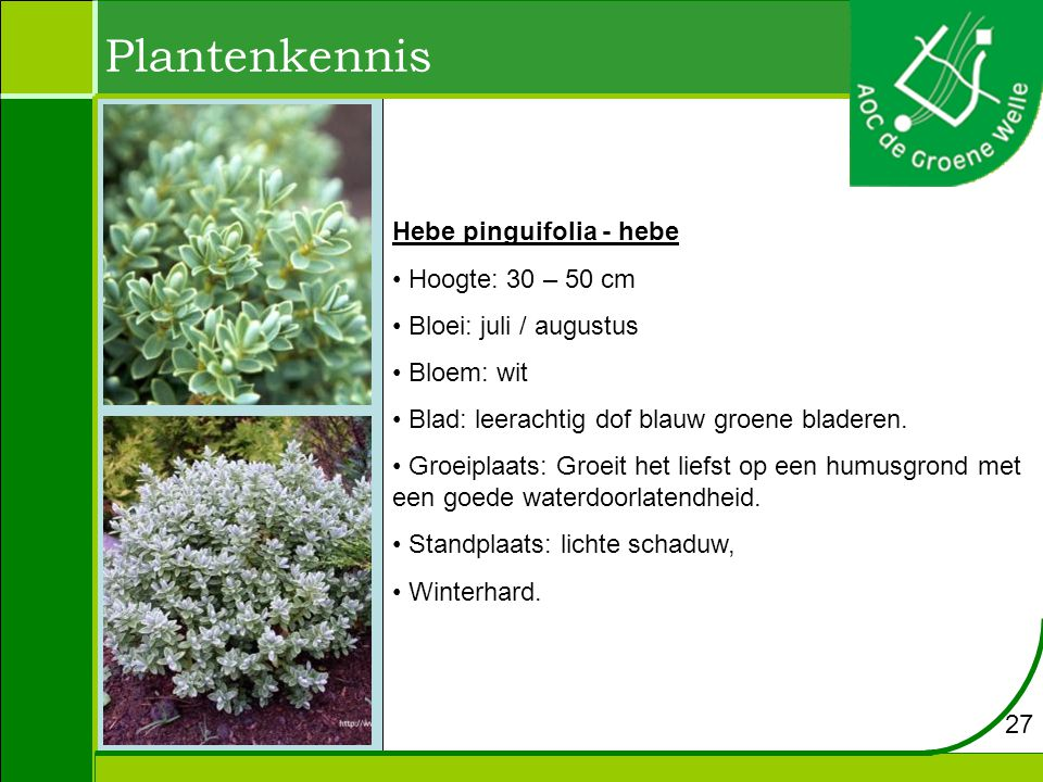 Plantenkennis Hebe pinguifolia - hebe Hoogte: 30 – 50 cm