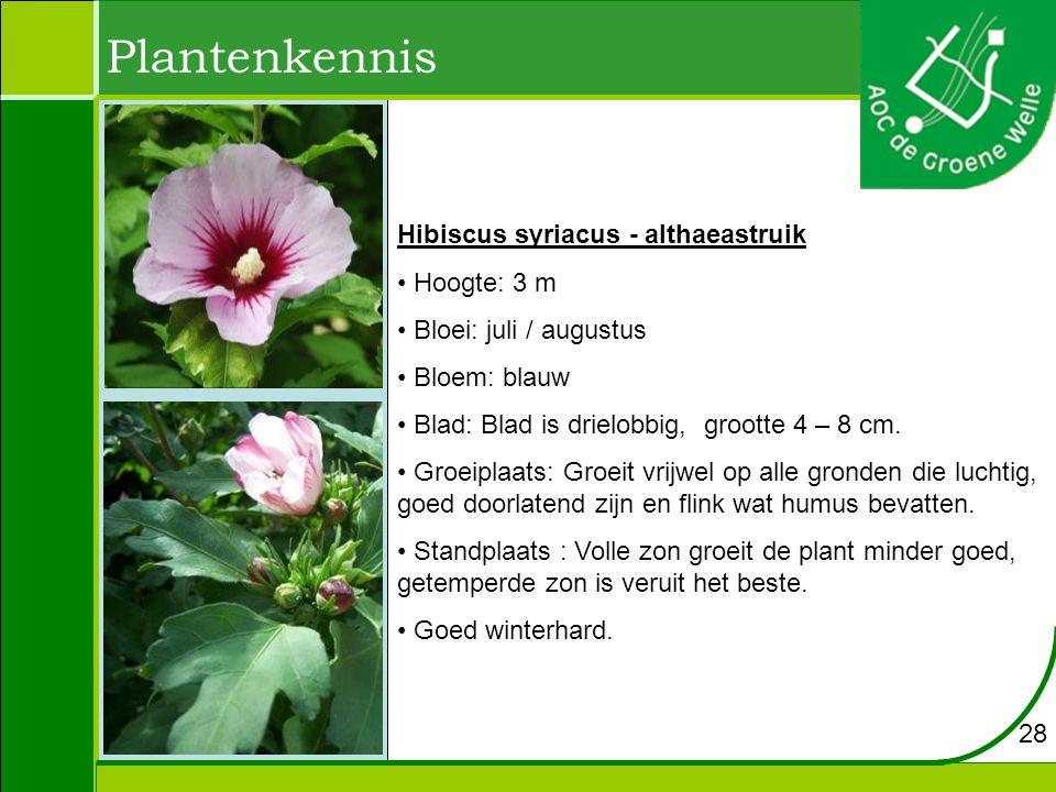 Plantenkennis Hibiscus syriacus - althaeastruik Hoogte: 3 m