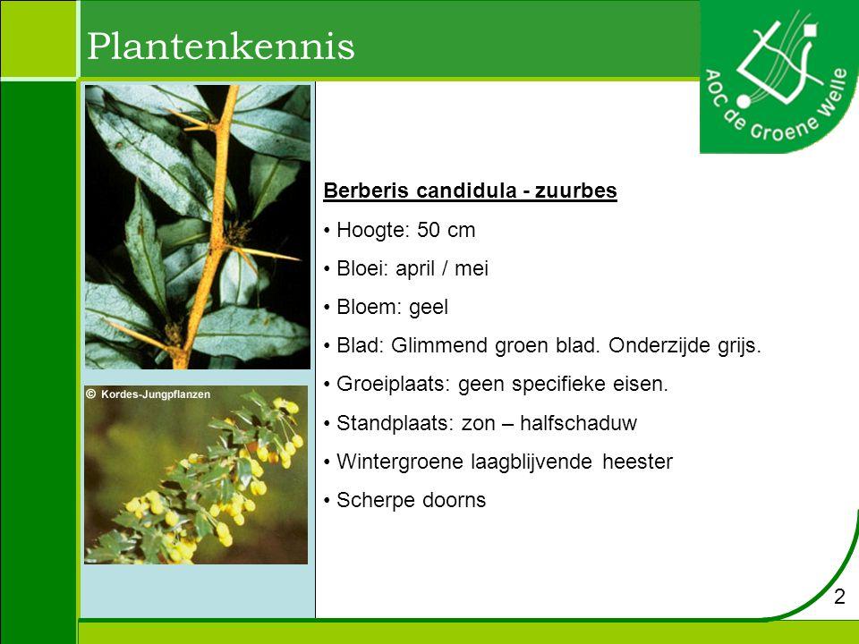 Plantenkennis Berberis candidula - zuurbes Hoogte: 50 cm