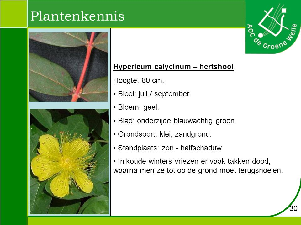 Plantenkennis Hypericum calycinum – hertshooi Hoogte: 80 cm.