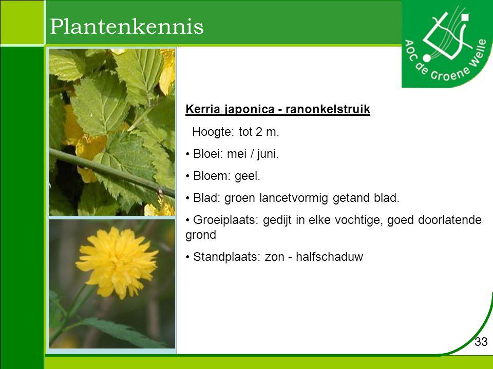 Plantenkennis Kerria japonica - ranonkelstruik Hoogte: tot 2 m.