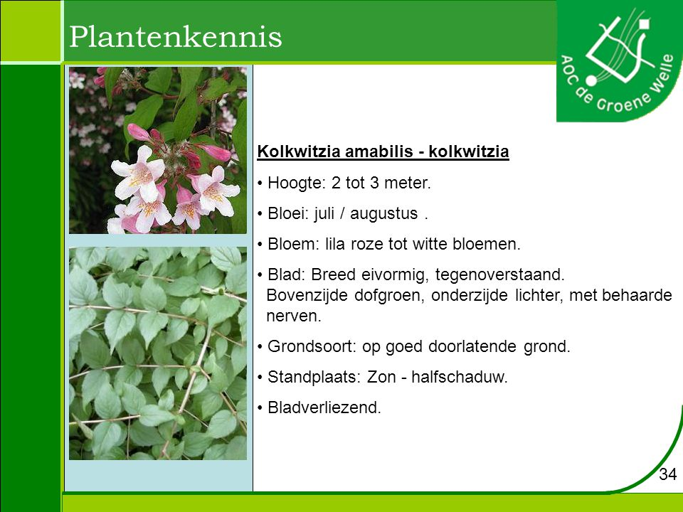 Plantenkennis Kolkwitzia amabilis - kolkwitzia Hoogte: 2 tot 3 meter.