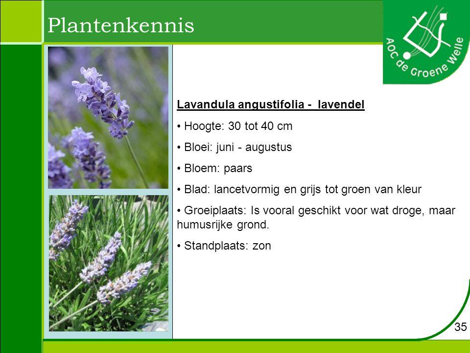 Plantenkennis Lavandula angustifolia - lavendel Hoogte: 30 tot 40 cm