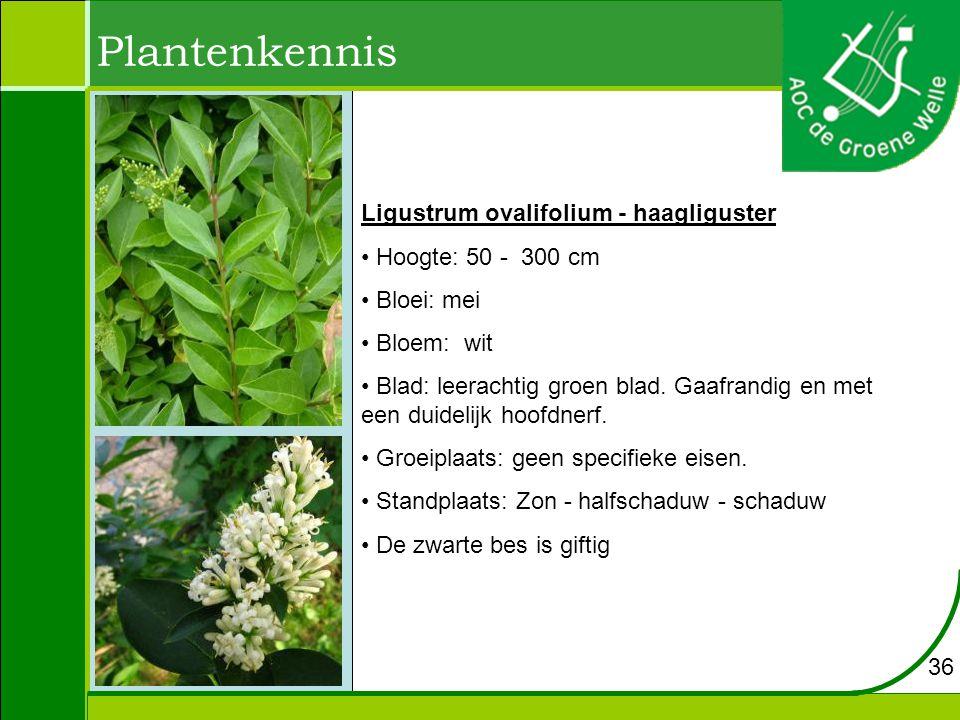 Plantenkennis Ligustrum ovalifolium - haagliguster Hoogte: 50 - 300 cm