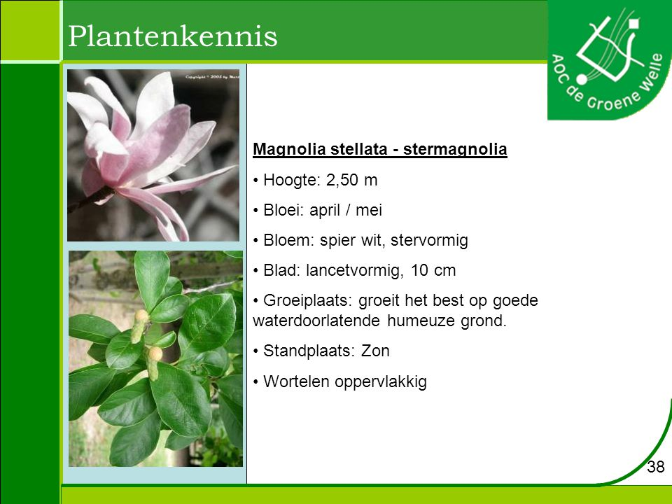 Plantenkennis Magnolia stellata - stermagnolia Hoogte: 2,50 m