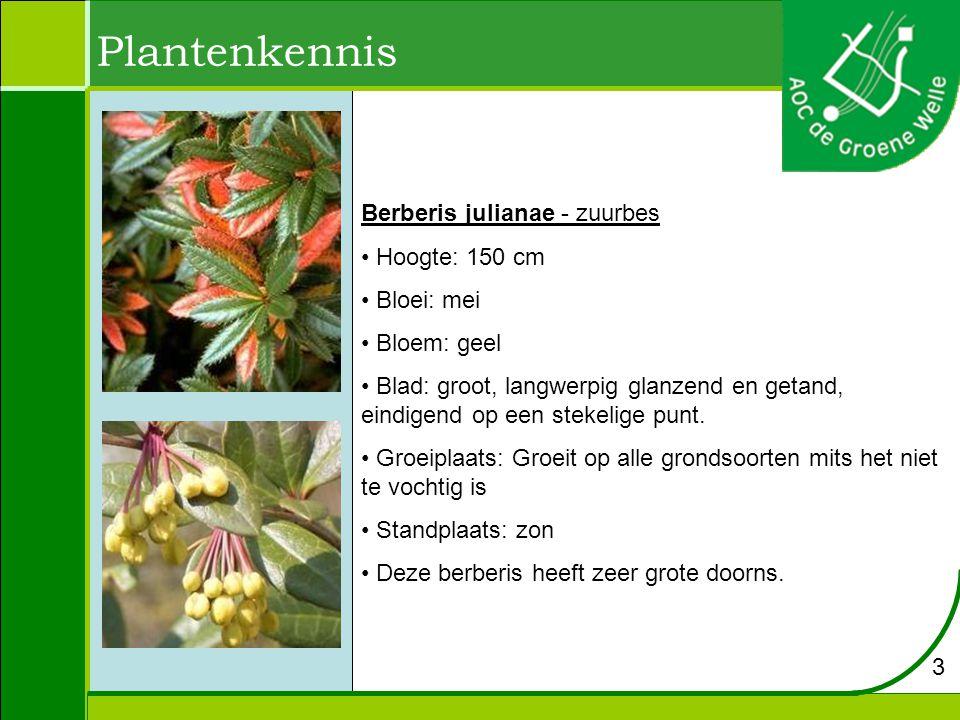 Plantenkennis Berberis julianae - zuurbes Hoogte: 150 cm Bloei: mei