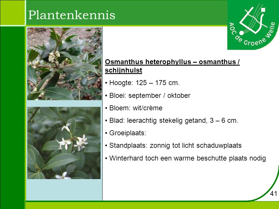Plantenkennis Osmanthus heterophyllus – osmanthus / schijnhulst