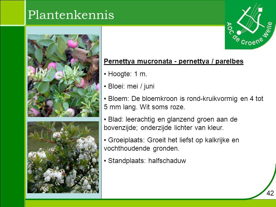 Plantenkennis Pernettya mucronata - pernettya / parelbes Hoogte: 1 m.