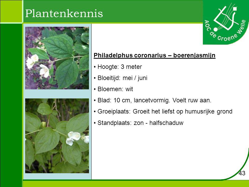 Plantenkennis Philadelphus coronarius – boerenjasmijn Hoogte: 3 meter