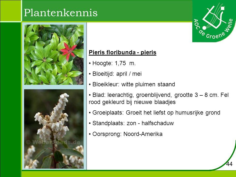 Plantenkennis Pieris floribunda - pieris Hoogte: 1,75 m.