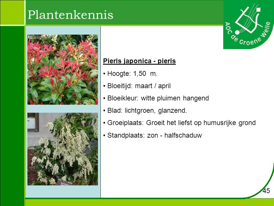Plantenkennis Pieris japonica - pieris Hoogte: 1,50 m.