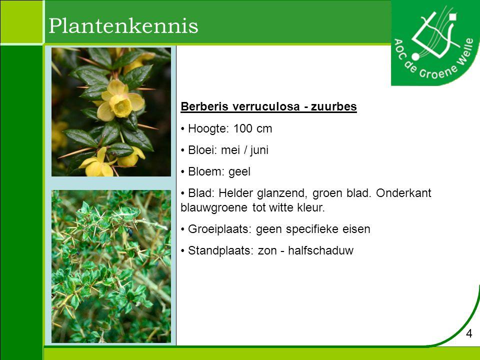 Plantenkennis Berberis verruculosa - zuurbes Hoogte: 100 cm