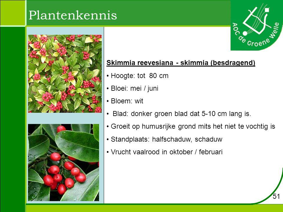 Plantenkennis Skimmia reevesiana - skimmia (besdragend)