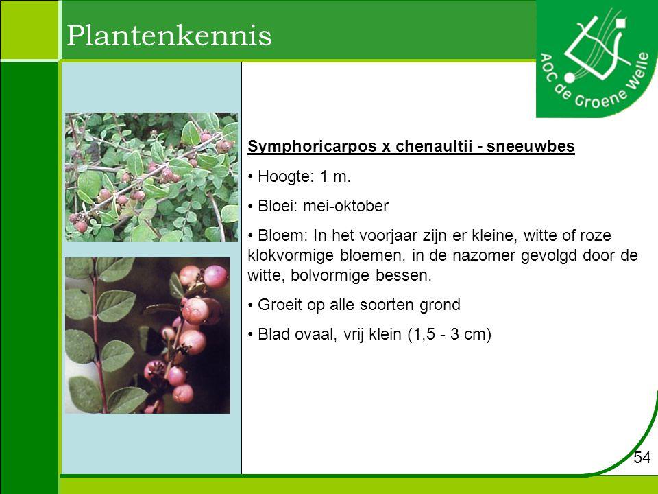 Plantenkennis Symphoricarpos x chenaultii - sneeuwbes Hoogte: 1 m.