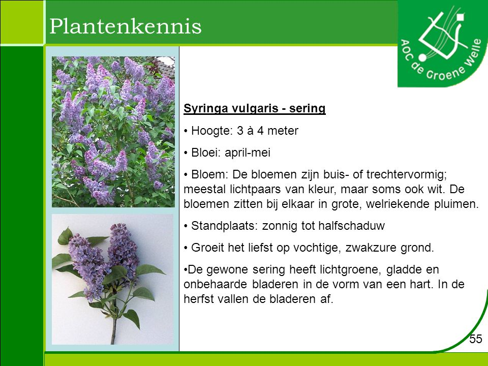 Plantenkennis Syringa vulgaris - sering Hoogte: 3 à 4 meter
