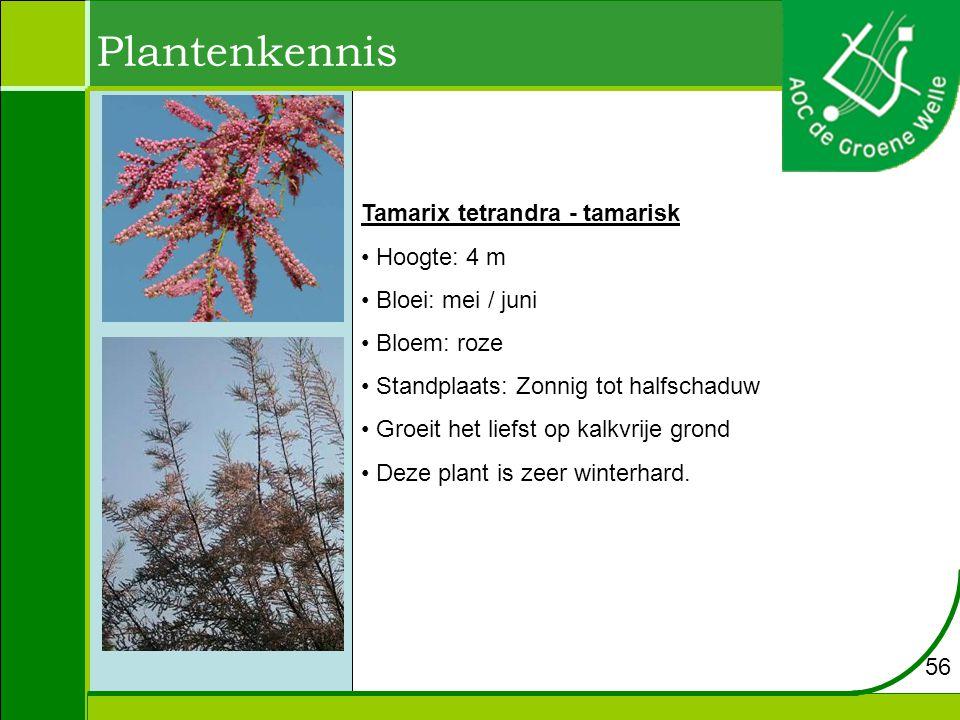 Plantenkennis Tamarix tetrandra - tamarisk Hoogte: 4 m