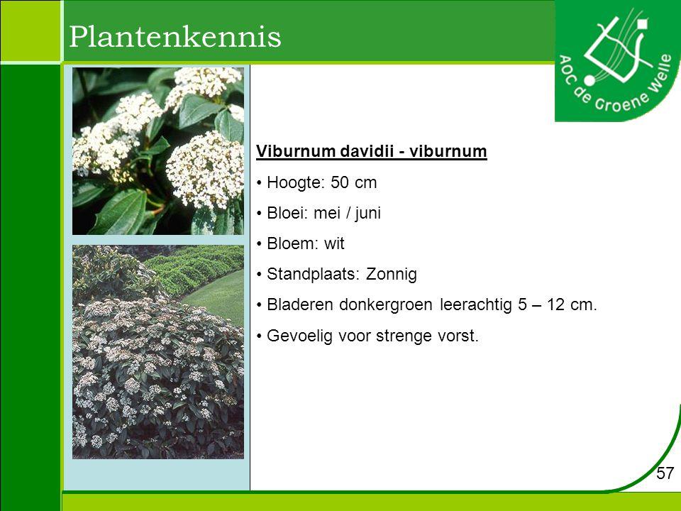 Plantenkennis Viburnum davidii - viburnum Hoogte: 50 cm