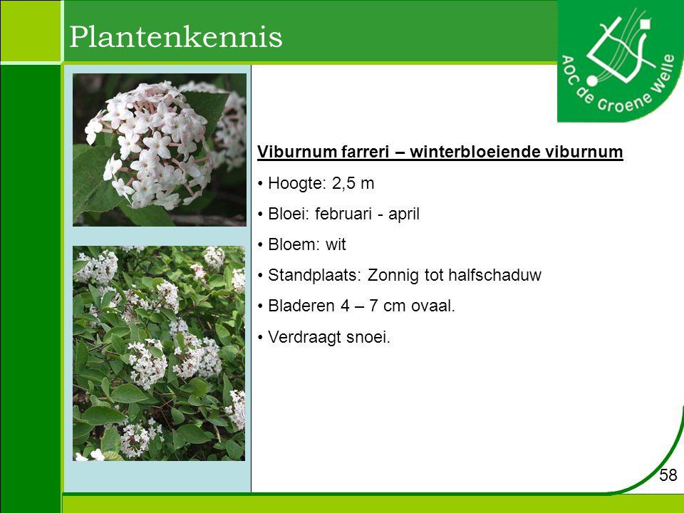 Plantenkennis Viburnum farreri – winterbloeiende viburnum