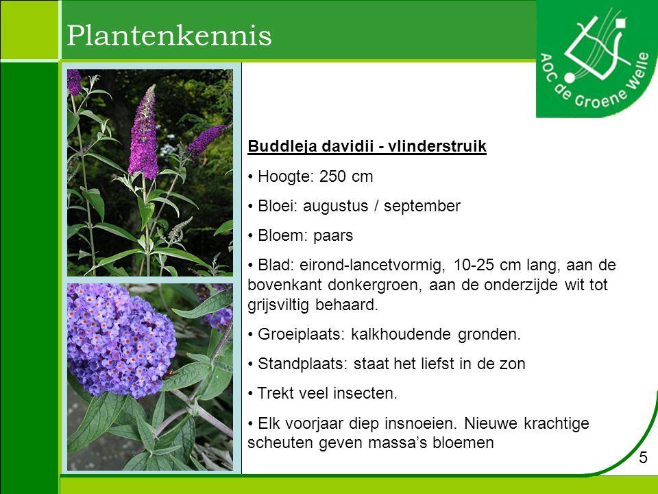 Plantenkennis Buddleja davidii - vlinderstruik Hoogte: 250 cm