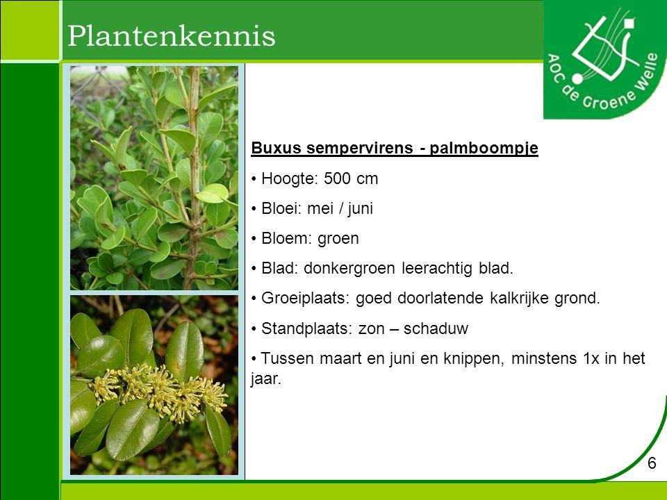 Plantenkennis Buxus sempervirens - palmboompje Hoogte: 500 cm