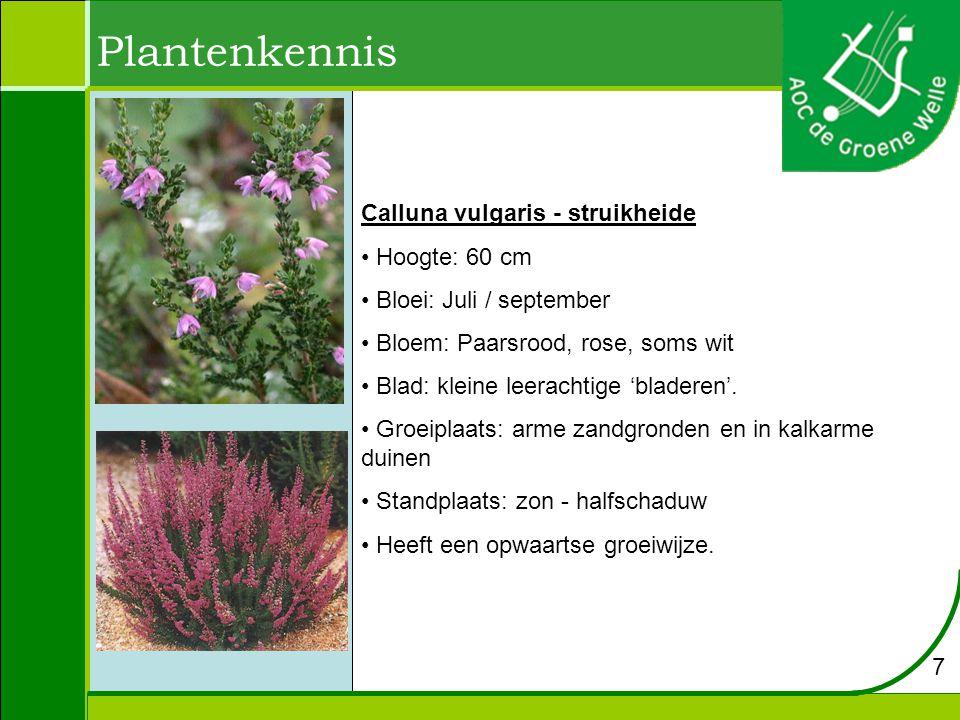 Plantenkennis Calluna vulgaris - struikheide Hoogte: 60 cm