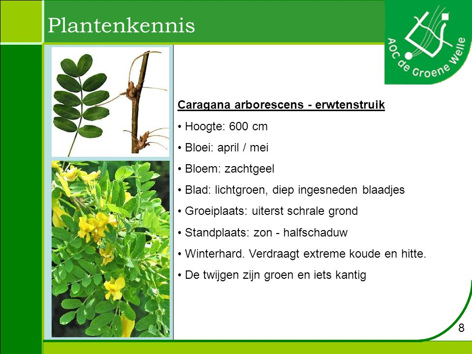 Plantenkennis Caragana arborescens - erwtenstruik Hoogte: 600 cm