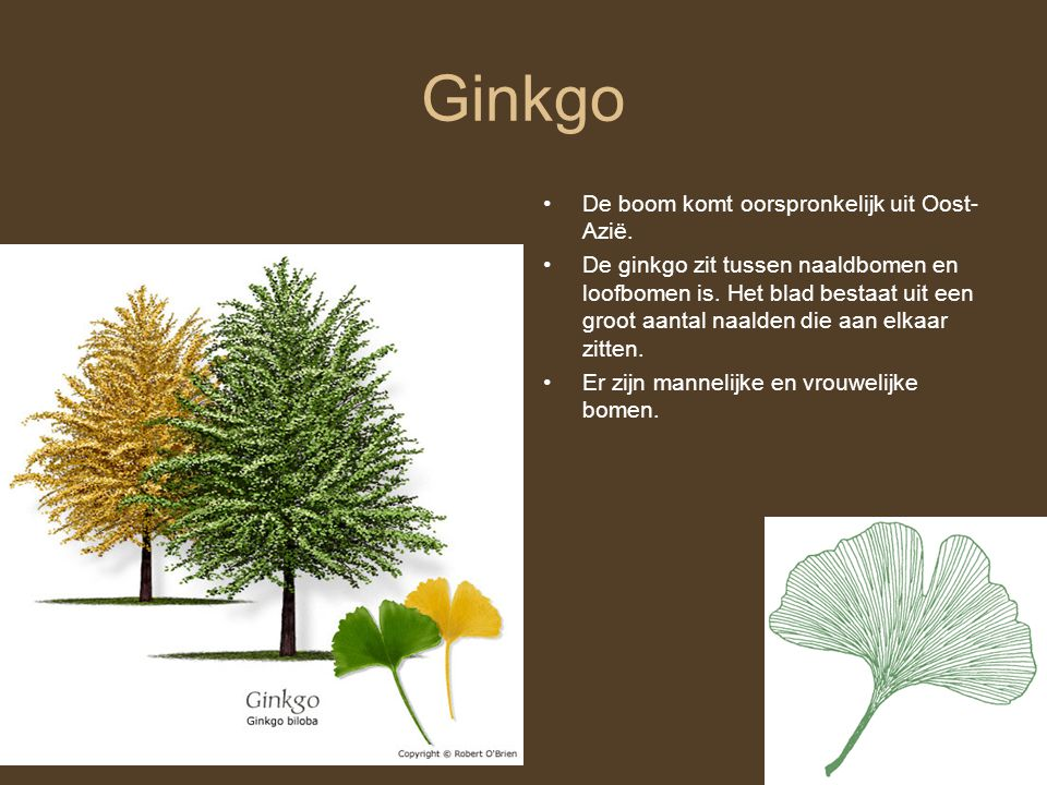 Ginkgo De boom komt oorspronkelijk uit Oost-Azië.