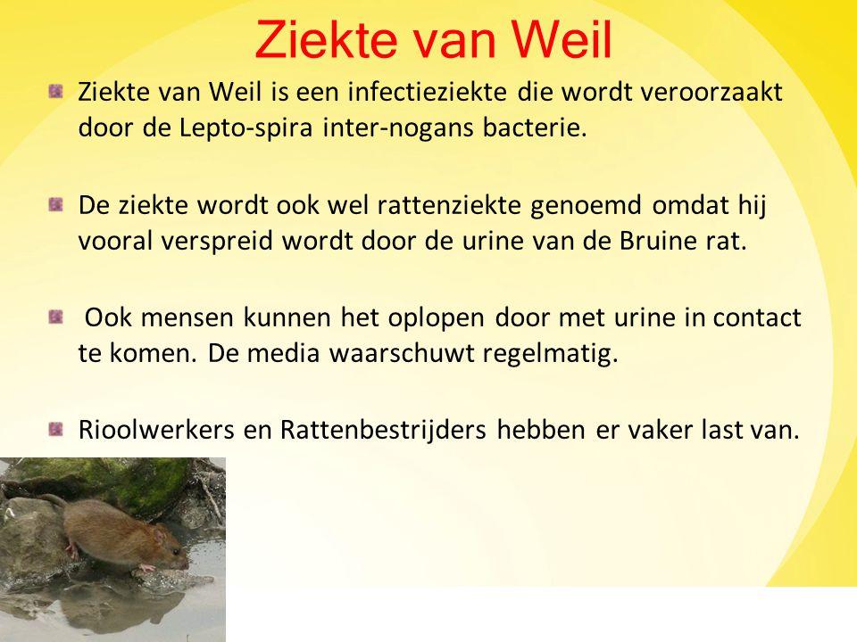 Ziekte van Weil Ziekte van Weil is een infectieziekte die wordt veroorzaakt door de Lepto-spira inter-nogans bacterie.