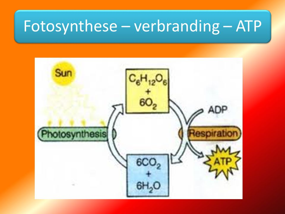 Fotosynthese – verbranding – ATP