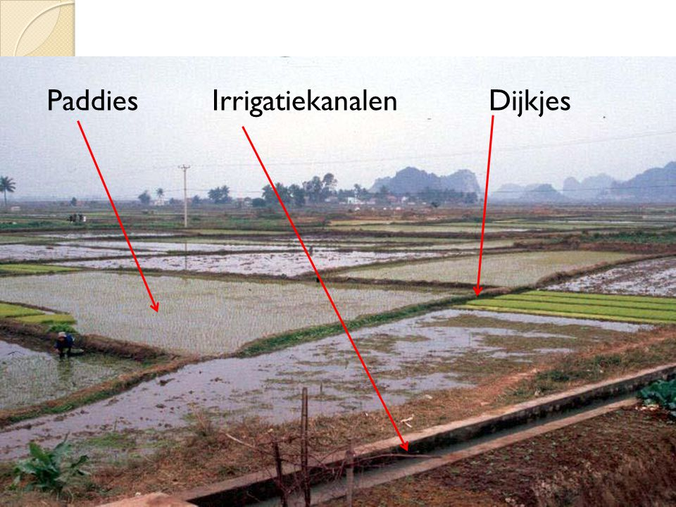 Paddies Irrigatiekanalen Dijkjes
