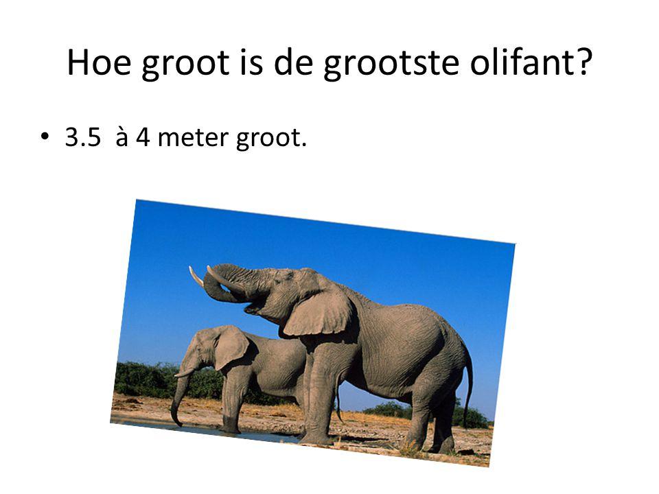 Hoe groot is de grootste olifant