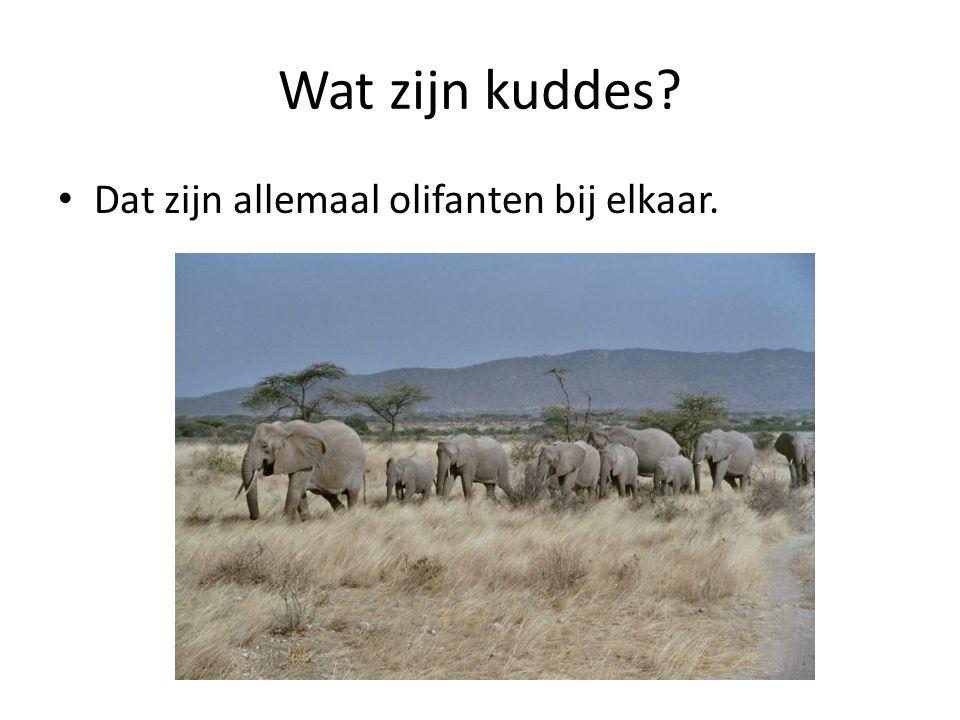 Wat zijn kuddes Dat zijn allemaal olifanten bij elkaar.