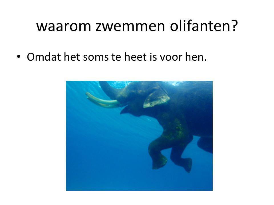 waarom zwemmen olifanten