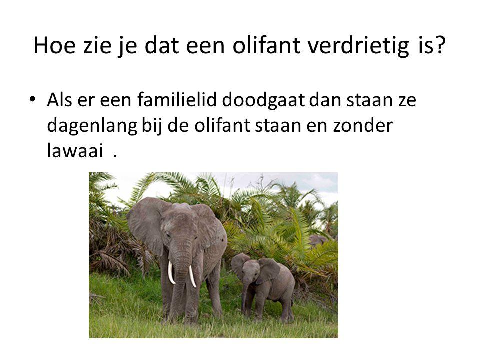Hoe zie je dat een olifant verdrietig is