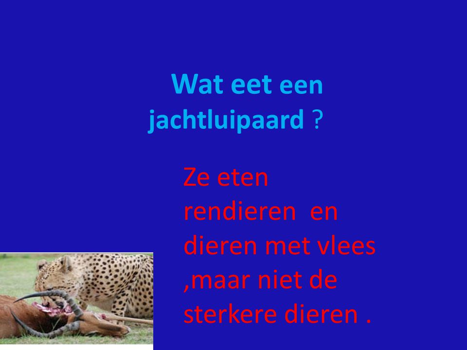 Wat eet een jachtluipaard