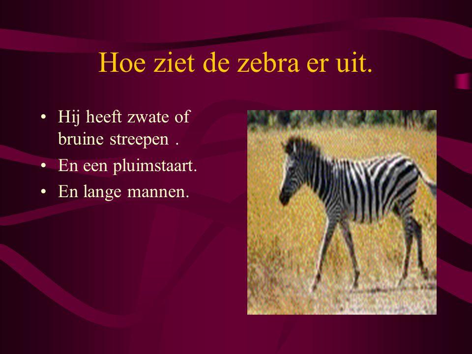 Hoe ziet de zebra er uit. Hij heeft zwate of bruine streepen .