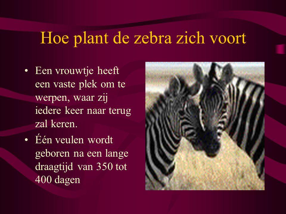 Hoe plant de zebra zich voort