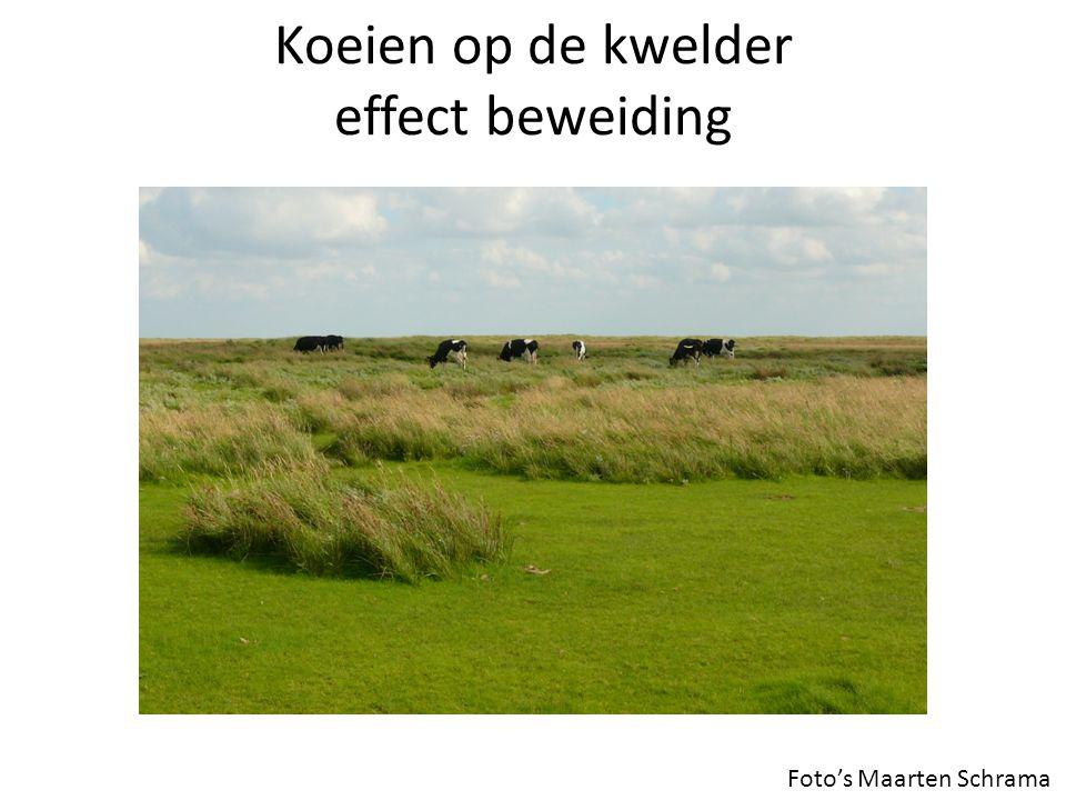 Koeien op de kwelder effect beweiding